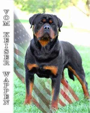 Rottweiler Pups For Sale In Texas