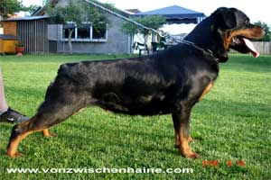 naomi from royal breed of kanjevac rottweiler female